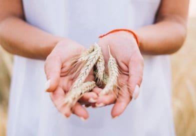 blé agriculture