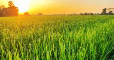 cereale riz